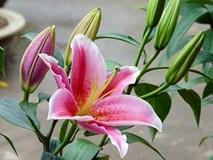 3 loài hoa quý nhà nhà dùng để trưng Tết nhưng cực độc với trẻ con