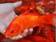 Cúng ông Công, ông Táo: Cách chọn mua cá chép đúng, chuẩn không phải ai cũng biết