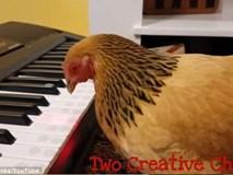 """Chú gà """"nổi như cồn"""" chỉ sau 1 phút chơi bản piano """"Nước Mỹ tươi đẹp"""""""
