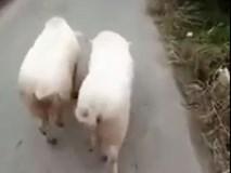 Màn vũ điệu 7 giây, 2 chú lợn gây sốt cộng đồng mạng