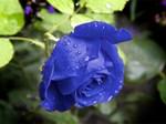 Trồng hoa hồng bằng cành nhanh, gọn mà cây vẫn khỏe, nở hoa to-12