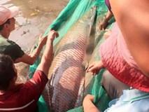 Cá hải tượng khủng được trả giá 350 triệu đồng