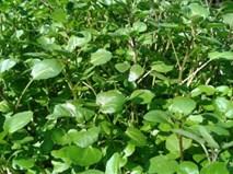 Kiếm 3 đến 5 tỷ đồng mỗi năm từ trồng xà lách xoong