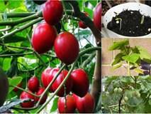 Cà chua thân gỗ - hàng hiếm xôn xao Hà thành trồng thế nào?