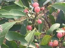 Mắc bệnh gan, vàng da uống lá cây rẻ tiền này cũng chữa khỏi?