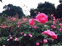 Đồi hoa hồng vạn gốc, cô gái 8X Hà Thành thu 3 tỷ/năm