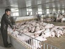 Thạc sỹ lương ngàn USD bỏ về quê nuôi lợn