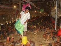 Giá gà thấp nhất trong 10 năm, nông dân lao đao