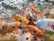 Clip: Kỳ thú hàng ngàn con cá chép tranh nhau... bú bình sữa trẻ em