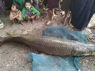 Bắt được cá dài 2 mét giá 3,3 tỷ trong ao chùa