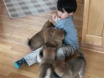 Bé trai bị đàn chó shiba chân ngắn, mông to tấn công tới tấp