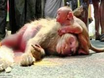 Video: Khỉ con ôm xác mẹ không rời khiến con người cũng không cầm được nước mắt
