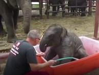 Du khách cười nghiêng ngả khi tắm cho voi con