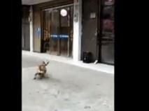 Cư dân mạng 'phát sốt' trước khả năng chơi bóng siêu việt của một chú chó