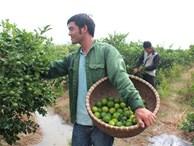 Cử nhân Ngoại thương về quê trồng chanh: Thu 1 tỷ lo cả làng cười chê