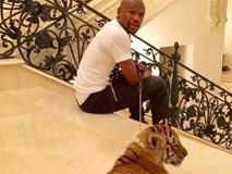 Mayweather bị 'ném đá' vì dắt hổ đi dạo trong nhà