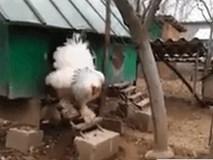 Ai cũng phát hoảng khi nhìn thấy con gà to nhất thế giới này bước ra khỏi chuồng