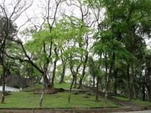 """Vườn sưa đỏ bạc tỷ trên núi """"triệu đô"""" ở Hà Nội"""