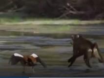 """Cận cảnh ngỗng """"tử chiến"""" với khỉ đầu chó để bảo vệ con"""