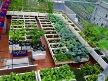 Đầu tư 30 triệu, ông bố 2 con sở hữu vườn rau trên sân thượng tươi đẹp giữa lòng thủ đô