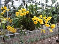 Trồng cây tiền tỷ: Vợ chồng 7x vừa ngắm hoa lan vừa 'hái' tiền