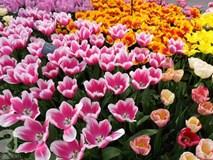 Lạc vào thiên đường hoa 7 triệu bông, một năm chỉ mở cửa một lần