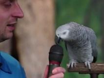 Con vẹt 30 tuổi nhại được 200 âm thanh khác nhau
