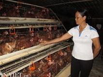 Thụ tinh nhân tạo cho gà, nữ trại chủ thu nhập 3 tỷ đồng/năm.