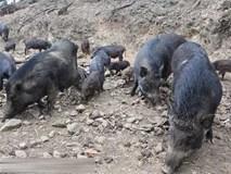Nuôi lợn sạch: Kỳ quặc cách ép lợn rừng dũi đất chạy rông trên đồi