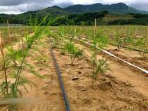 """""""Vác"""" 1 tỷ đồng lên núi trồng măng tây sạch khủng nhất Quảng Ngãi"""