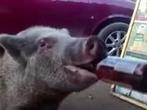 Lợn khát nước nốc cạn 3 chai bia trong chớp mắt
