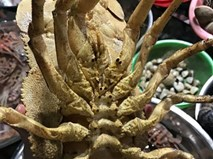 Loại tôm đặc biệt đắt hơn cả tôm hùm ở Lý Sơn
