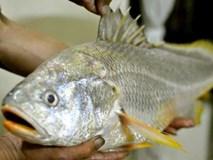 Cần thủ Sài Gòn 'hốt' được cá sủ vàng quý hiếm