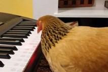 Dẹp hết âu lo để lắng nghe bản nhạc piano do gà mái đánh