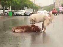 Clip: Cảm động chú chó nỗ lực gọi bạn dậy khi bạn bị tai nạn