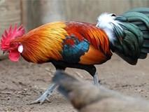 """Trang trại 5.000 con gà rừng """"tai trắng, tai đỏ"""" được thuần hóa"""