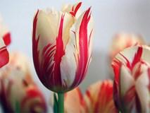 5 loài hoa đắt giá nhất hành tinh