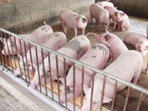 Giải cứu thịt lợn: Bộ trưởng kêu gọi văn hóa và trách nhiệm DN