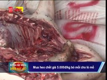 Thu mua lợn chết giá 5.000 đồng/kg bỏ mối cho lò mổ