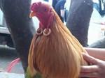 Tâm sự cười chảy nước mắt của cô vợ đòi ly dị vì chồng mê gà chọi: Đang ân ái nhảy bổ xuống kiểm tra chuồng, đem cả gà đi hát karaoke-6