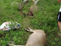 Sét đánh chết 6 con trâu, người đi chăn bất tỉnh