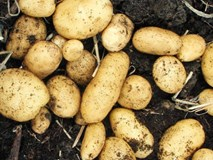 Rất nhiều bà nội trợ đang bảo quản khoai tây sai cách khiến chúng sinh ra chất gây ung thư
