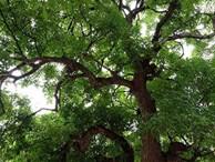 Bí mật về bốn 'cụ cây', đại gia trả 8 tỉ nhưng cả làng không bán