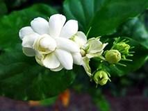 Những lợi ích này khiến hoa nhài là bài thuốc quý