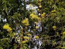 """Lần đầu trong đời thấy tre """"nở trăm hoa"""" ở xứ Quảng"""