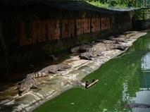 Đồng Nai, Bình Dương: Hàng vạn con cá sấu đói lả 'chờ chết'