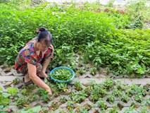Kiểu trồng rau 'có một không hai' dọc con đường 6.000 tỷ ở Hà Nội