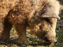 Lợn gì mà thoạt nhìn cứ ngỡ là cừu, lại khôn như chó?