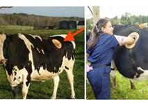 Kinh hãi nhìn thấy lỗ lớn trên bụng những con bò, ai cũng bất ngờ khi biết lý do