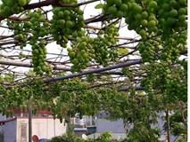 Siêu nông dân ruộng bê tông': 35m2 sân thượng thu 2 tạ nho
